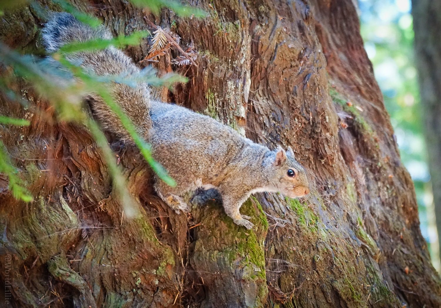 The squirrel eyed us from his perch high on the trunk.