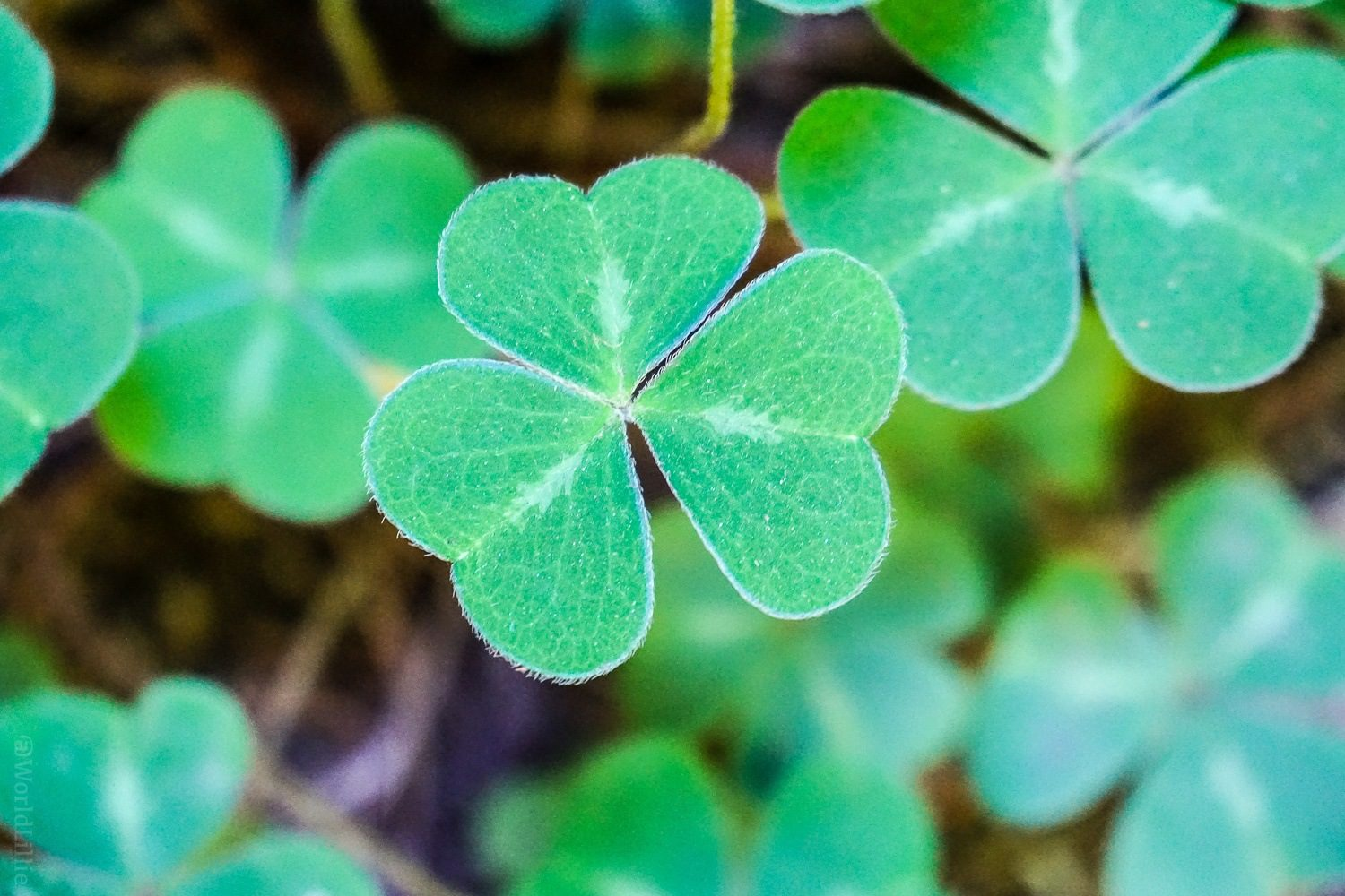 This clover loves you.