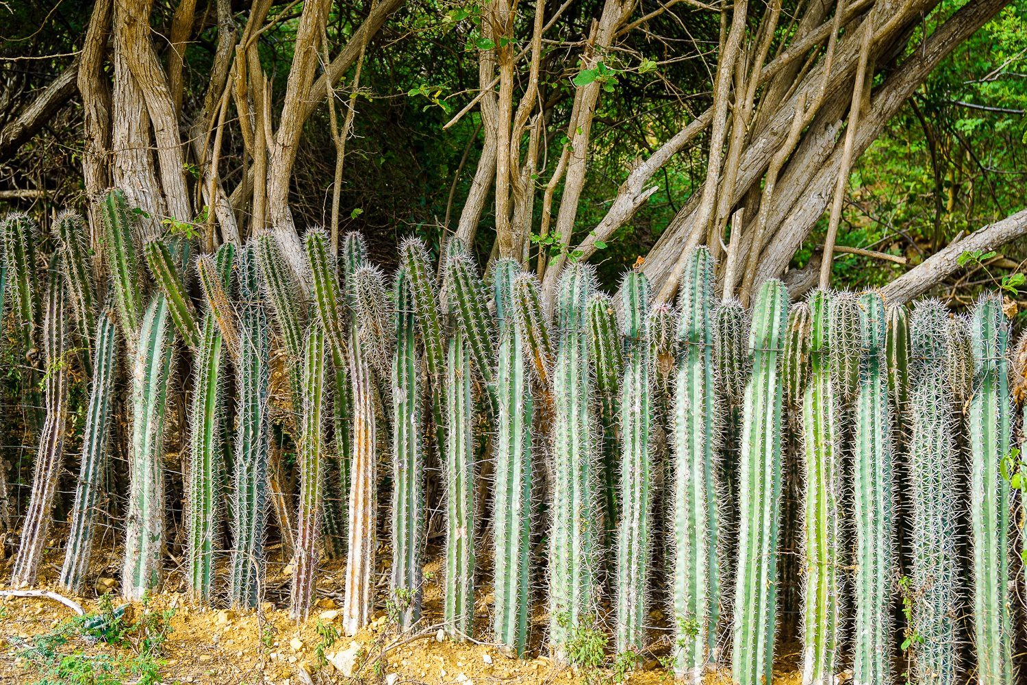 Our house needs a cacti fence.