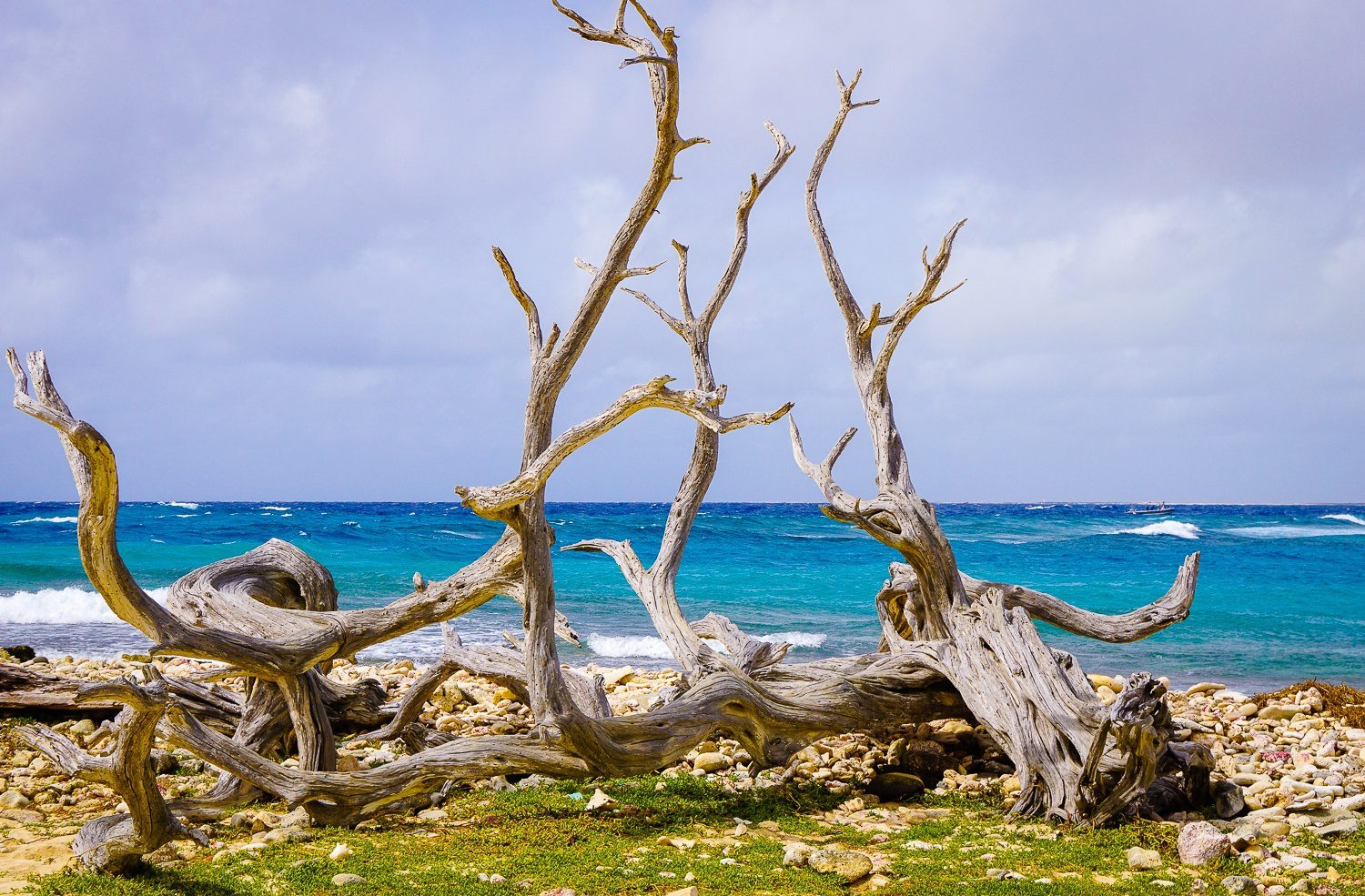 Twisted branches in front of bright teal ocean.
