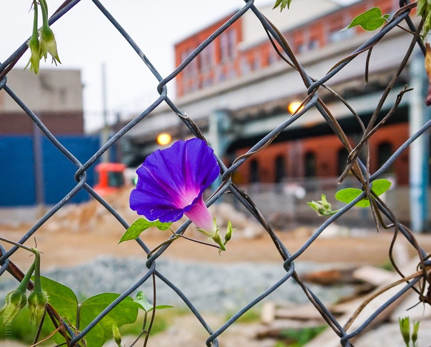 Morning Glory flowers popped up all over town.