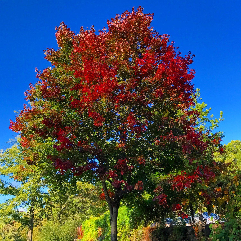Bright crimson tree tips for fall.
