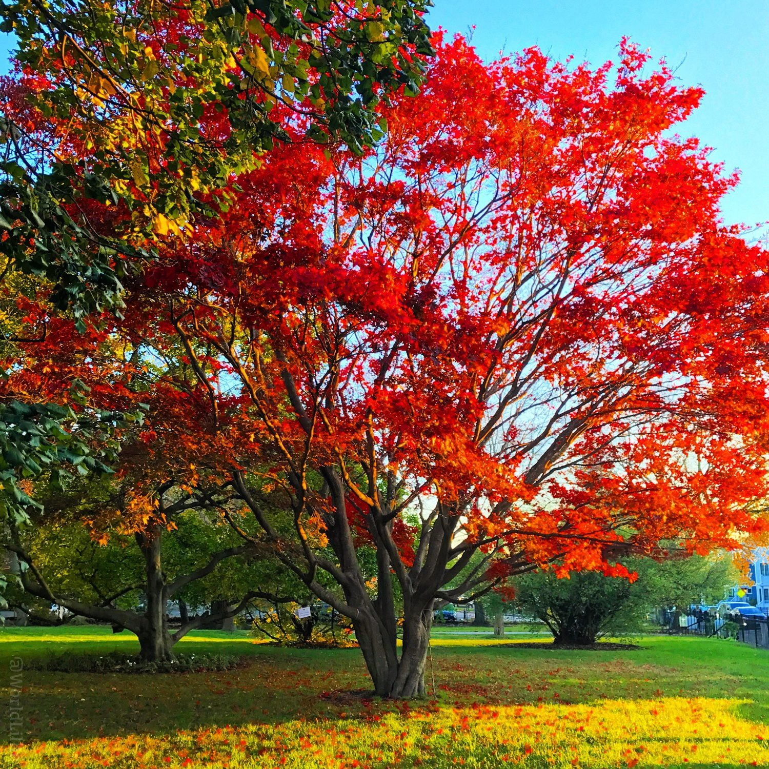 Glorious bright red autumn leaves in Boston.