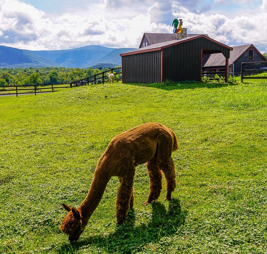 Alpaca farm love near the Berkshires of Williamstown, MA!