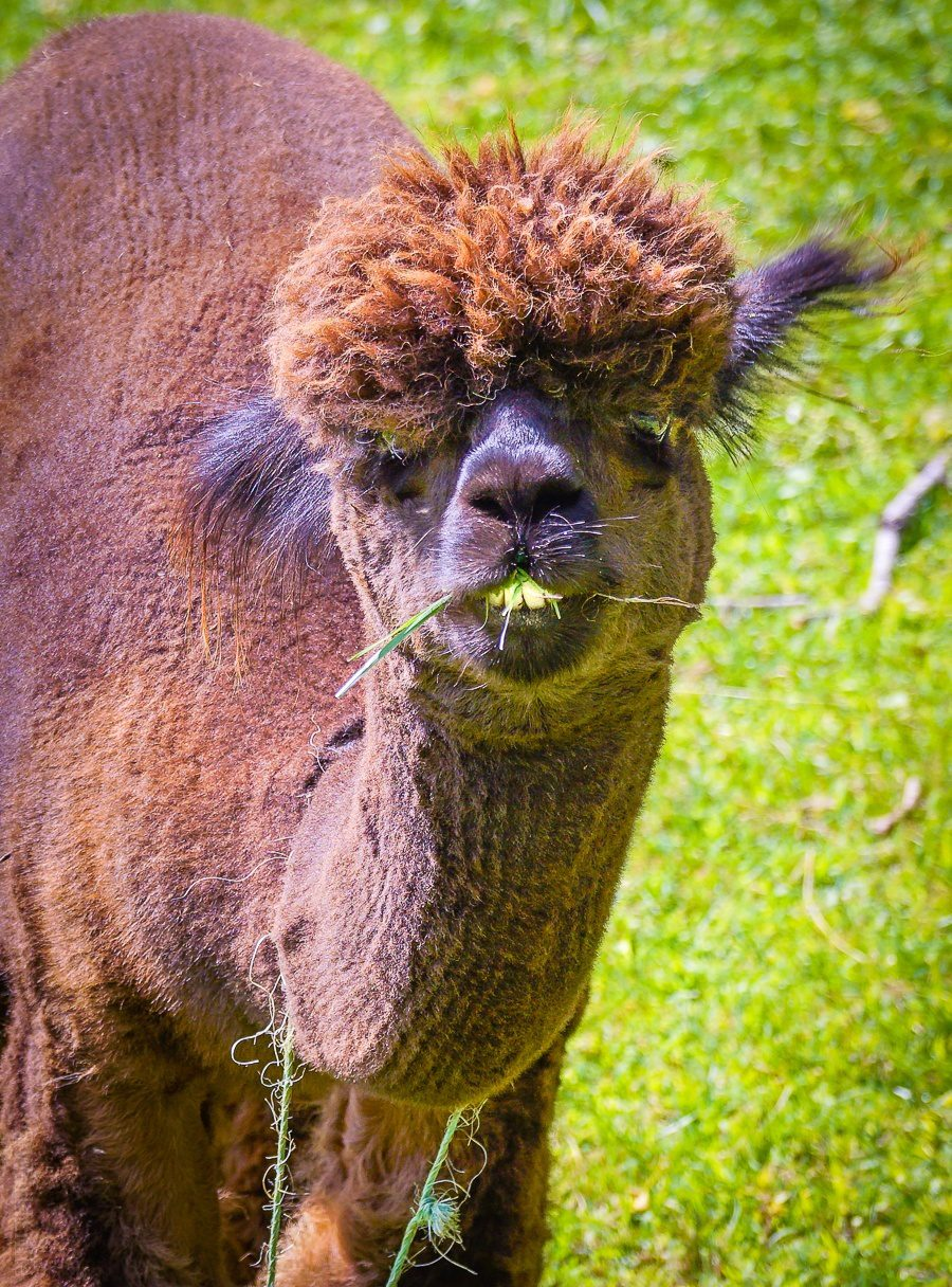 Planning travel in Western Massachusetts, near the Berkshire Mountains and Williamstown, MA? You must visit Sweet Brook Farm for its fluffy alpacas, llamas, and delicious local maple syrup! Perfect for kids and family travel fun.