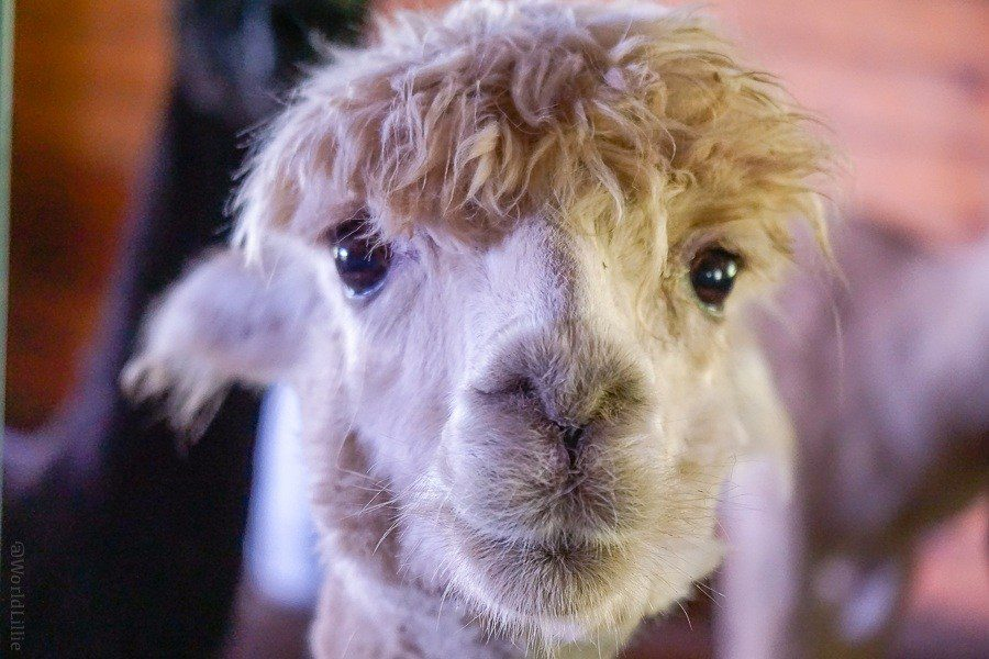 It's almost like this alpaca took a selfie!