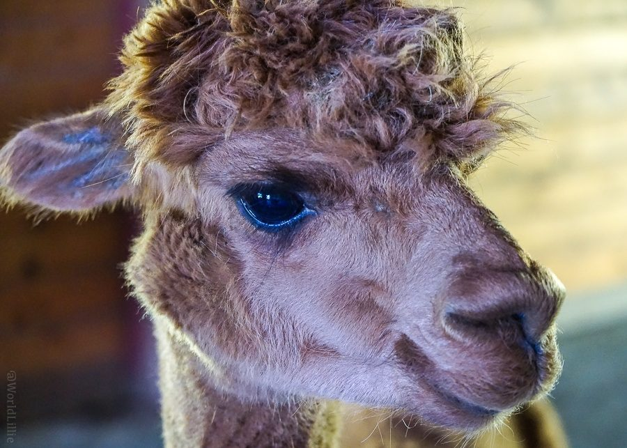 Sleek alpaca cheeks.