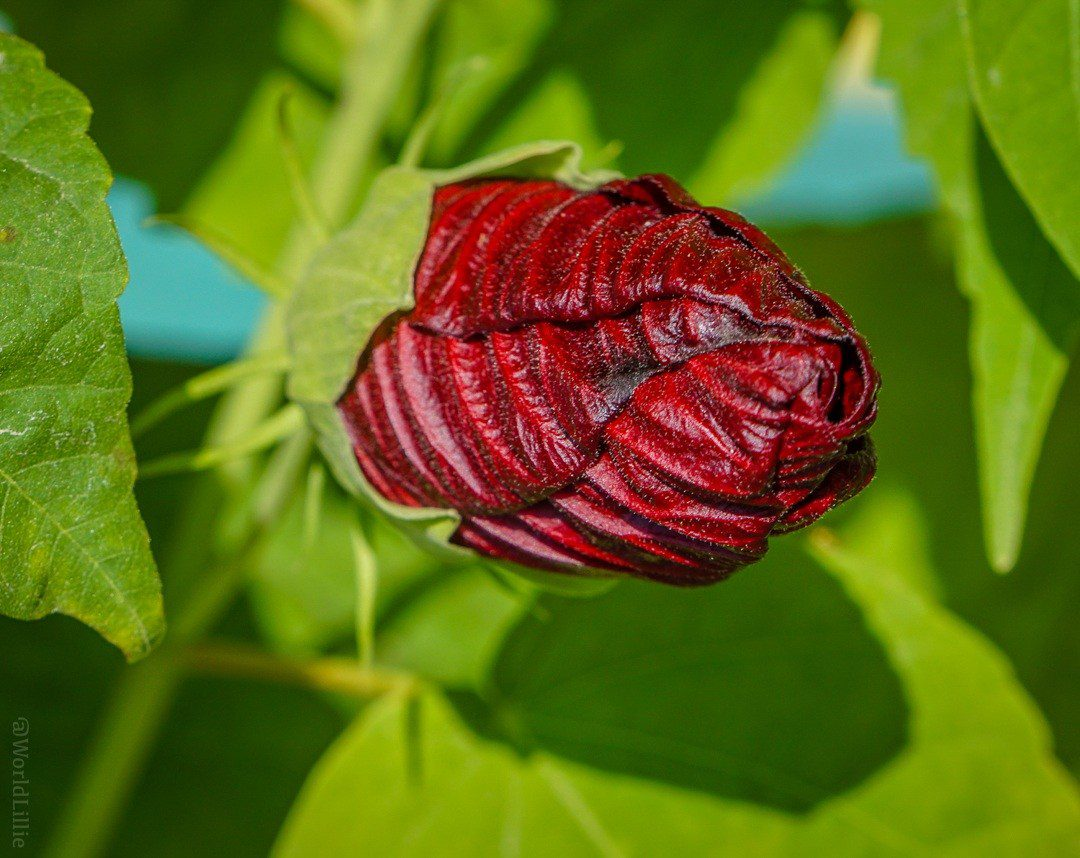 The bud of a blood red flower, ready to bloom.