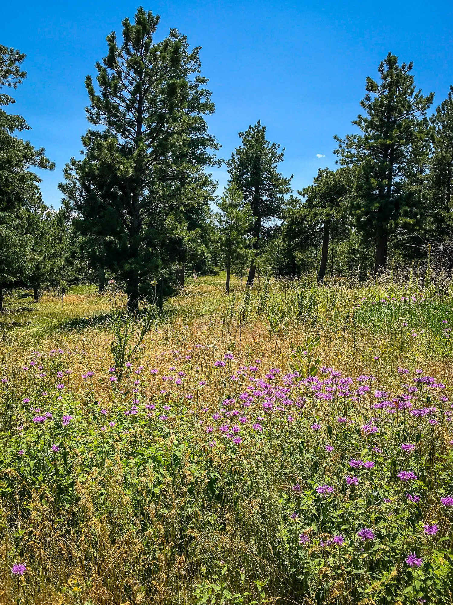 Purple wildflowers on Green Mountain West Ridge Trail, Boulder, Colorado