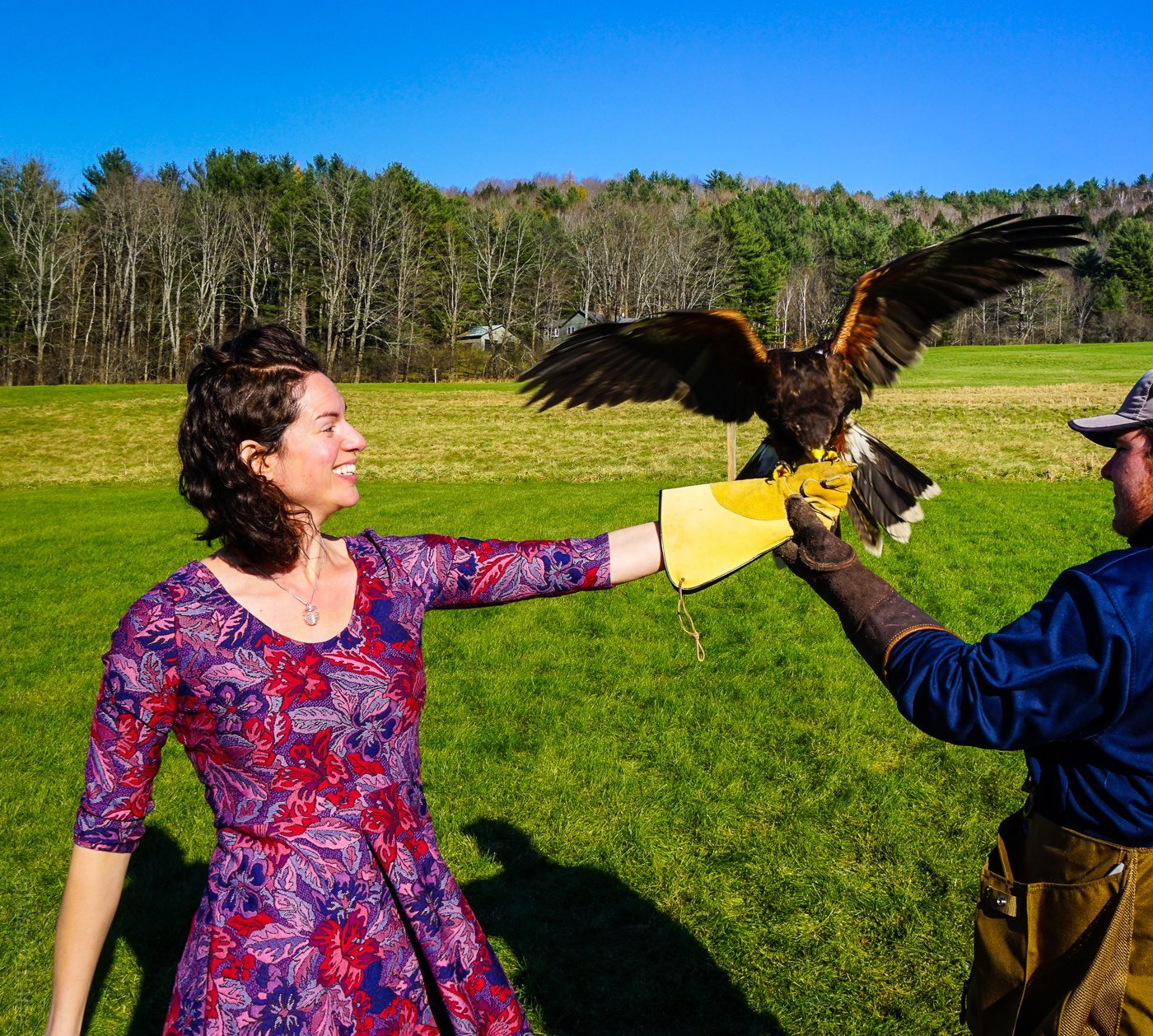 New England Falconry: Catching a Harris's Hawk.