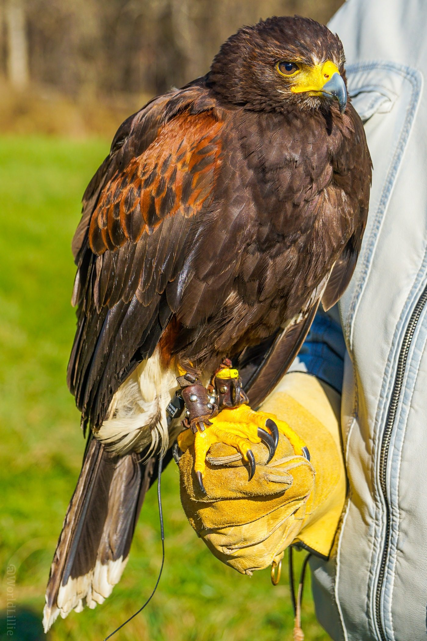 A Harris's Hawk! For a romantic New England getaway, or family travel fun, Woodstock, VT is a charming small town: Covered bridges, Billings Farm, Vermont skiing, and falconry!