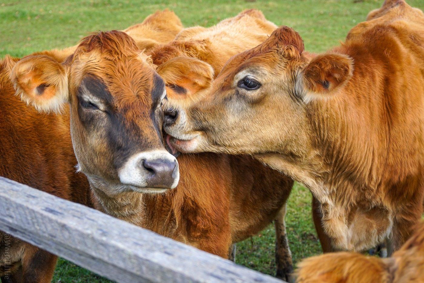 Kissing cows at Billings Farm, Woodstock, Vermont.
