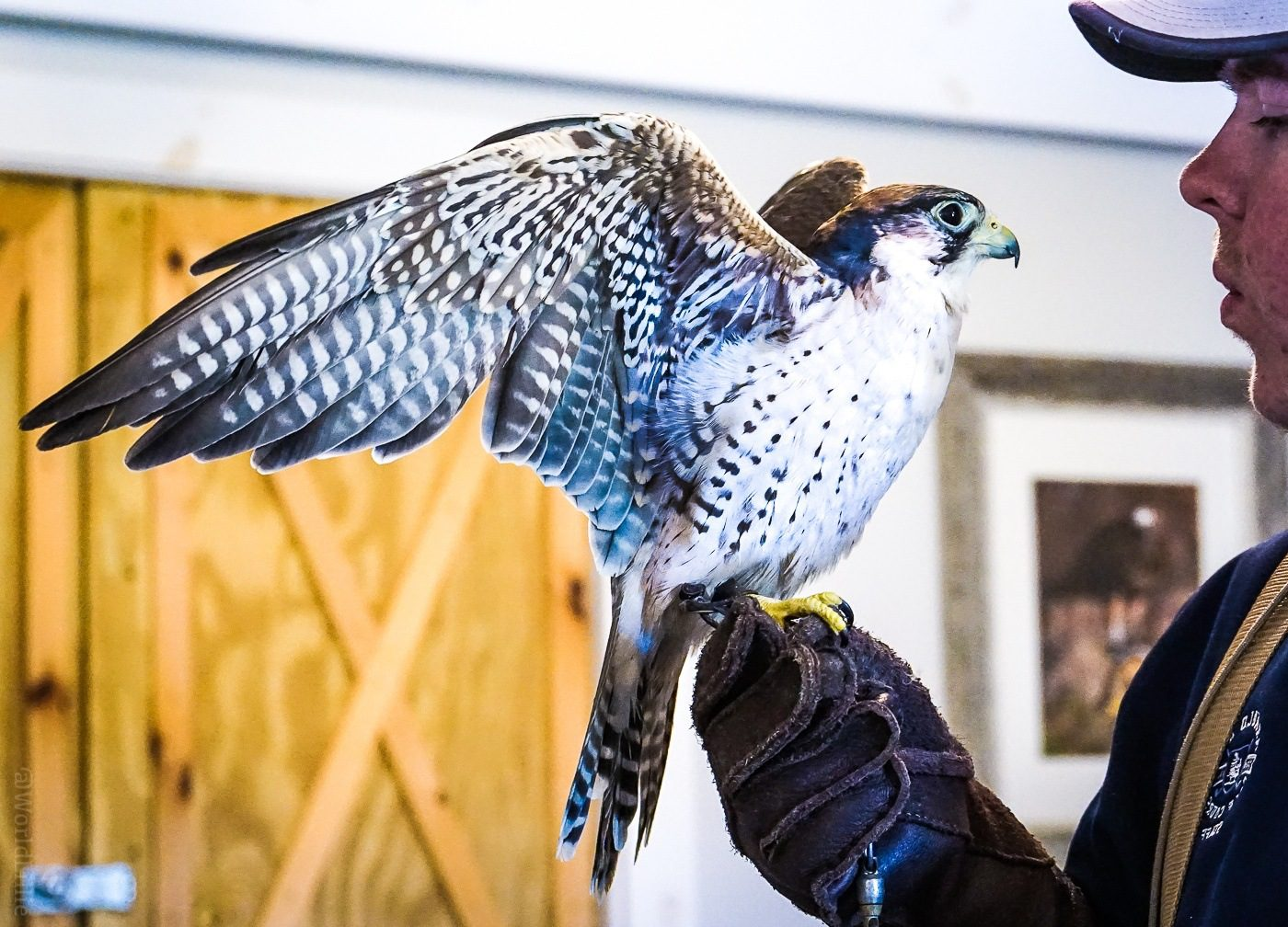 A Lanner Falcon at New England Falconry, Vermont.