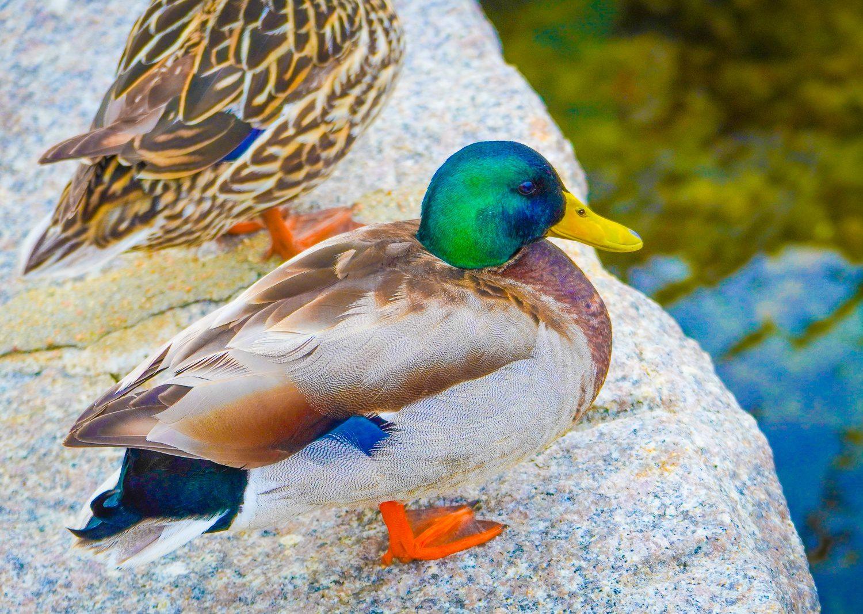 An emerald green-headed duck in Woods Hole.