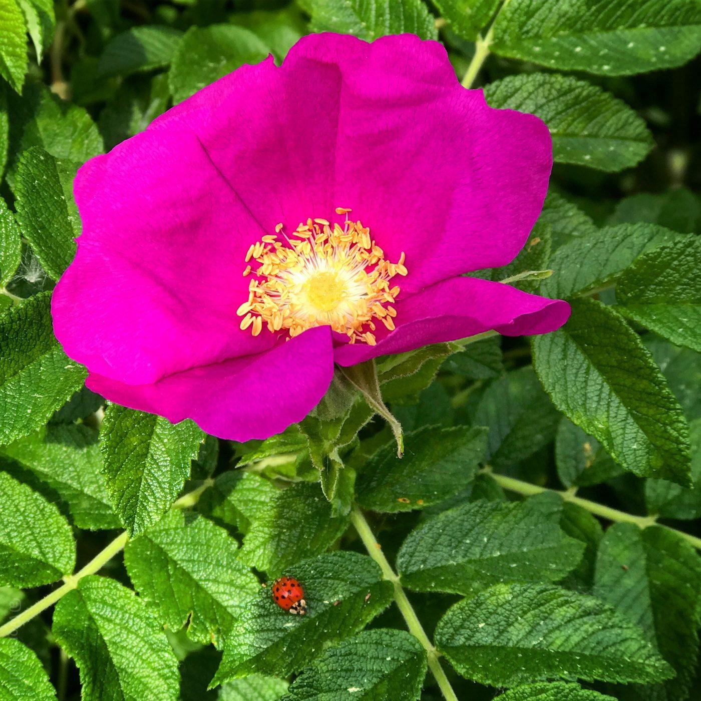 Pink magenta flower and ladybug