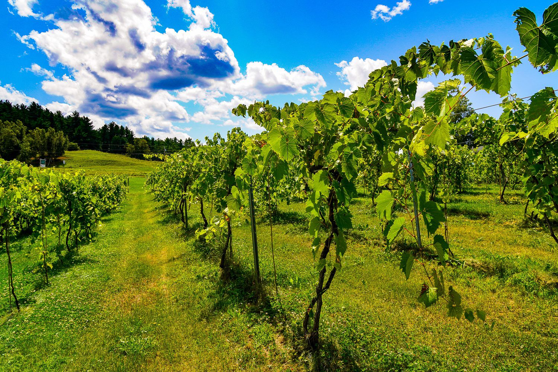 Grapes growing in winery vineyard