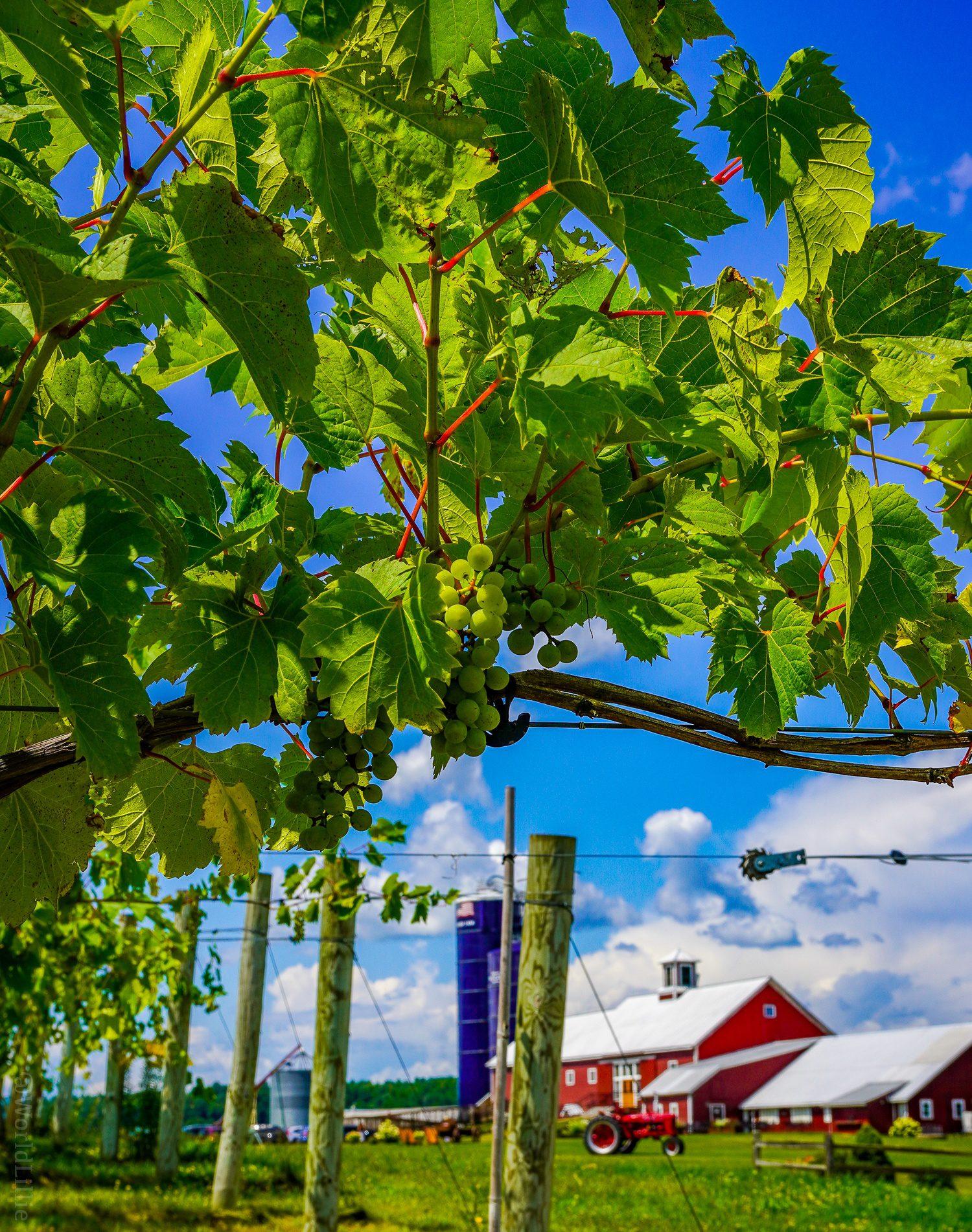 Vineyard Vermont