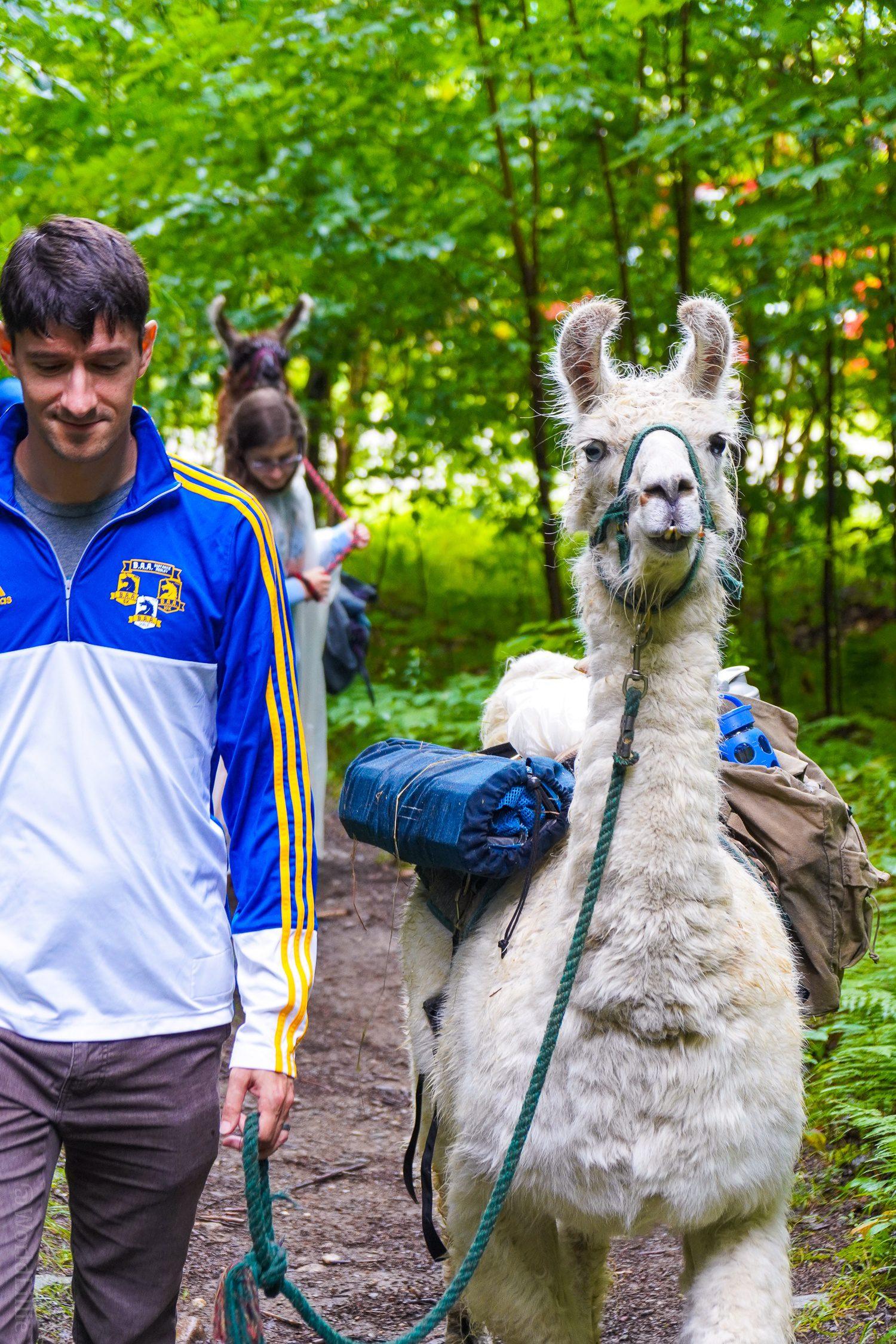 The llama trek, gliding through the forest.