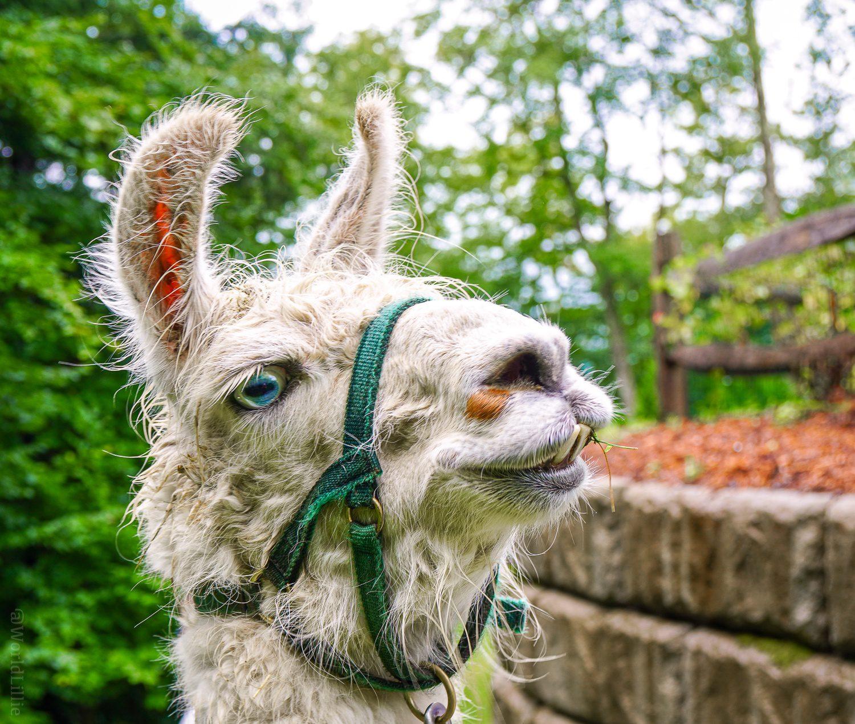 Cute llama laughing