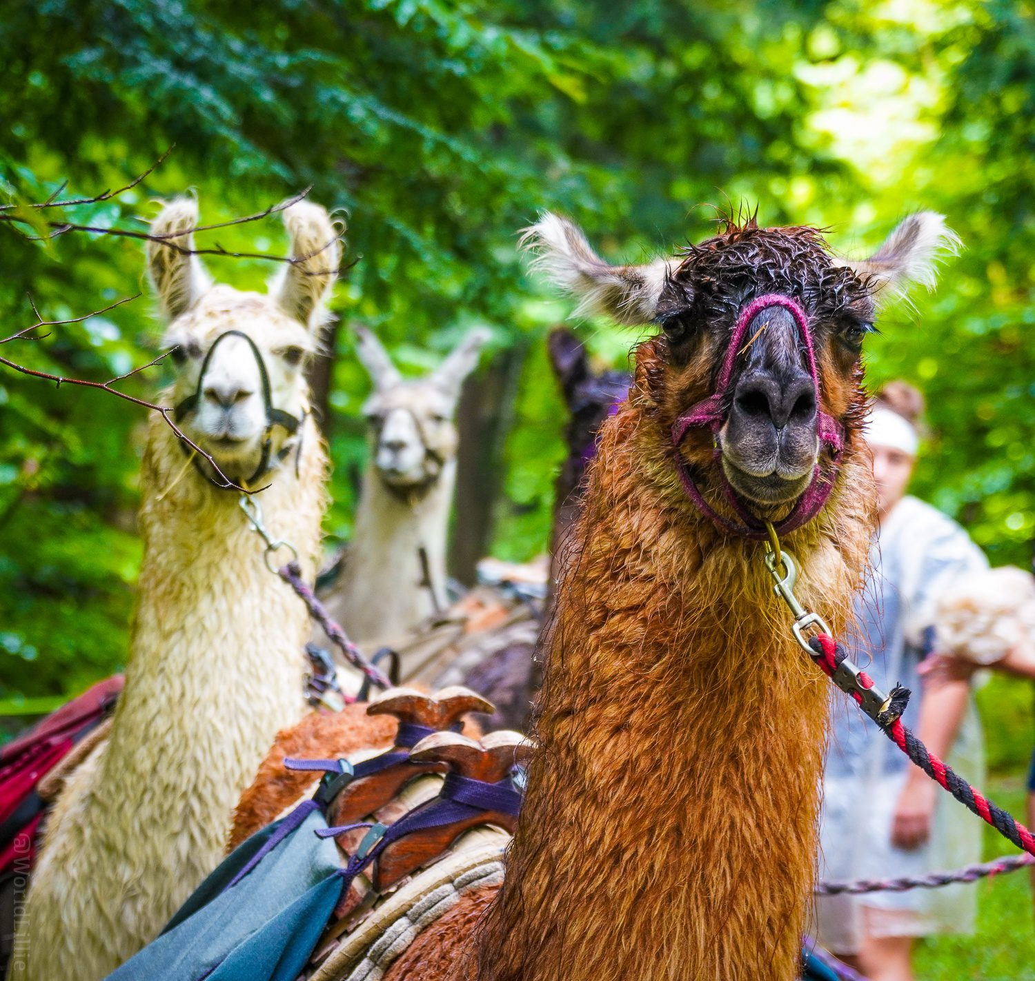 Do you want to come llama trekking with us?