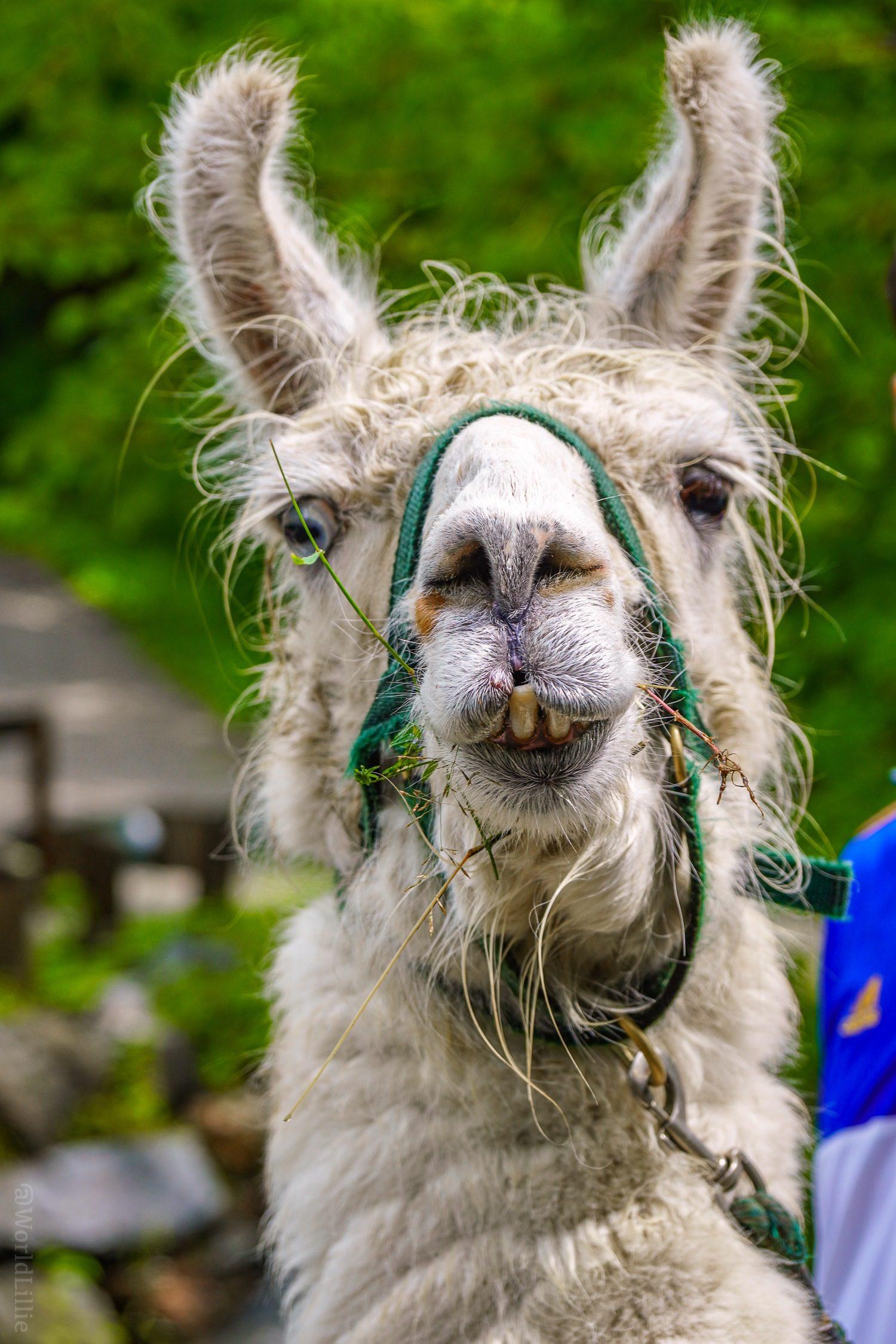 Funny llama teeth