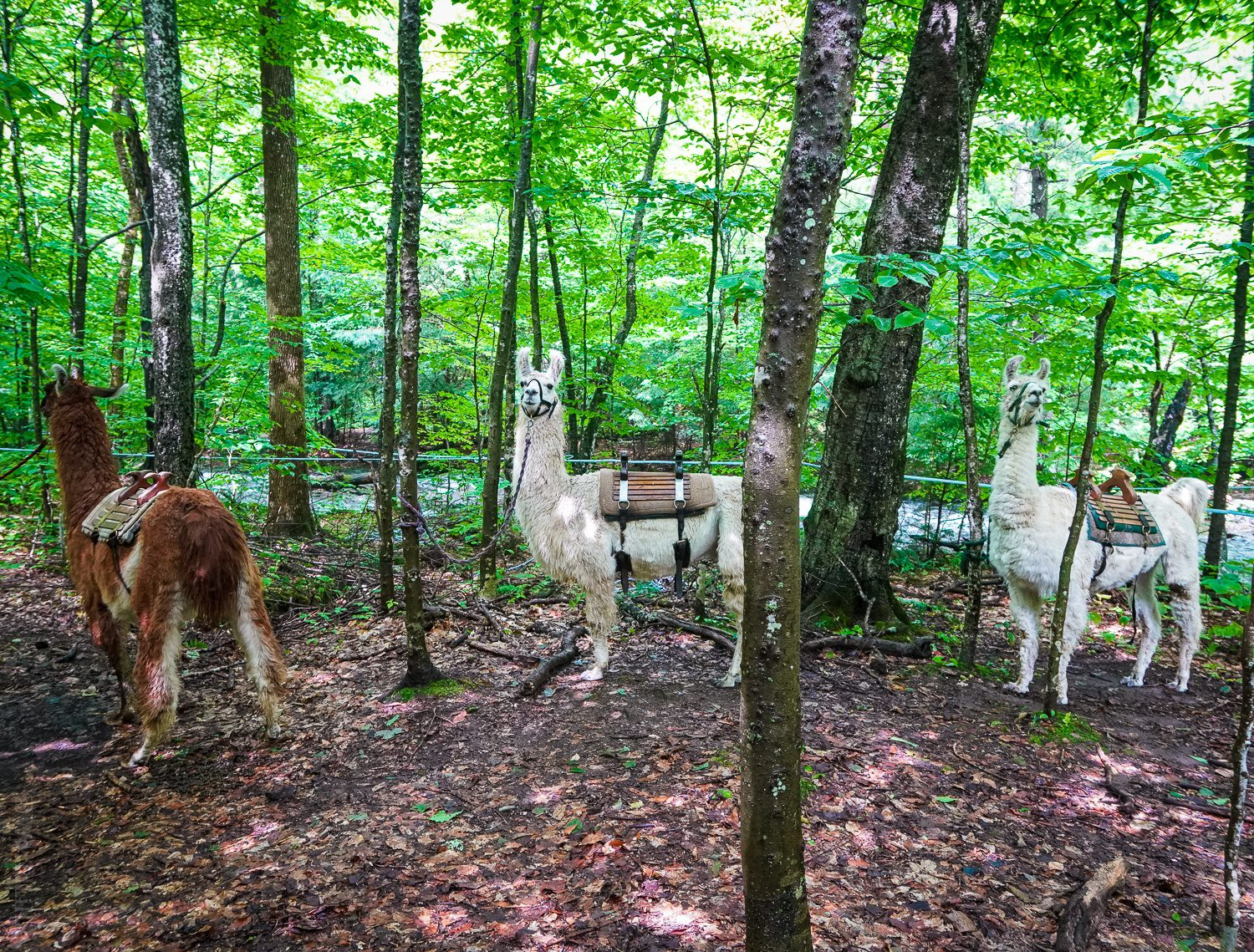 Our llama trek stopped by the river for a picnic.