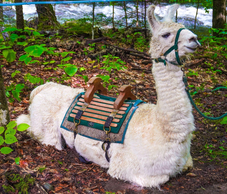 Llama sitting