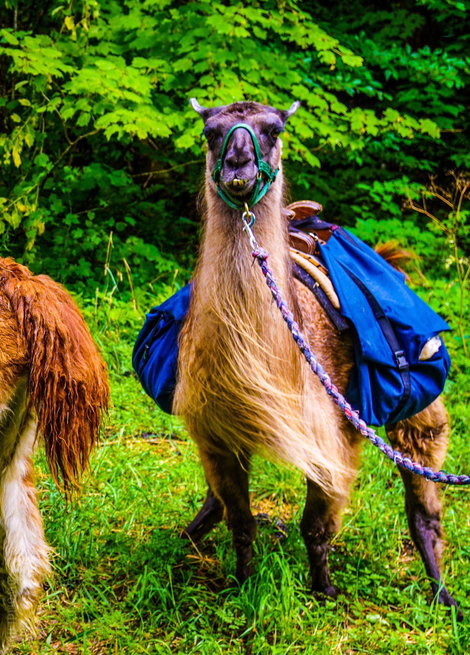Hilarious llama