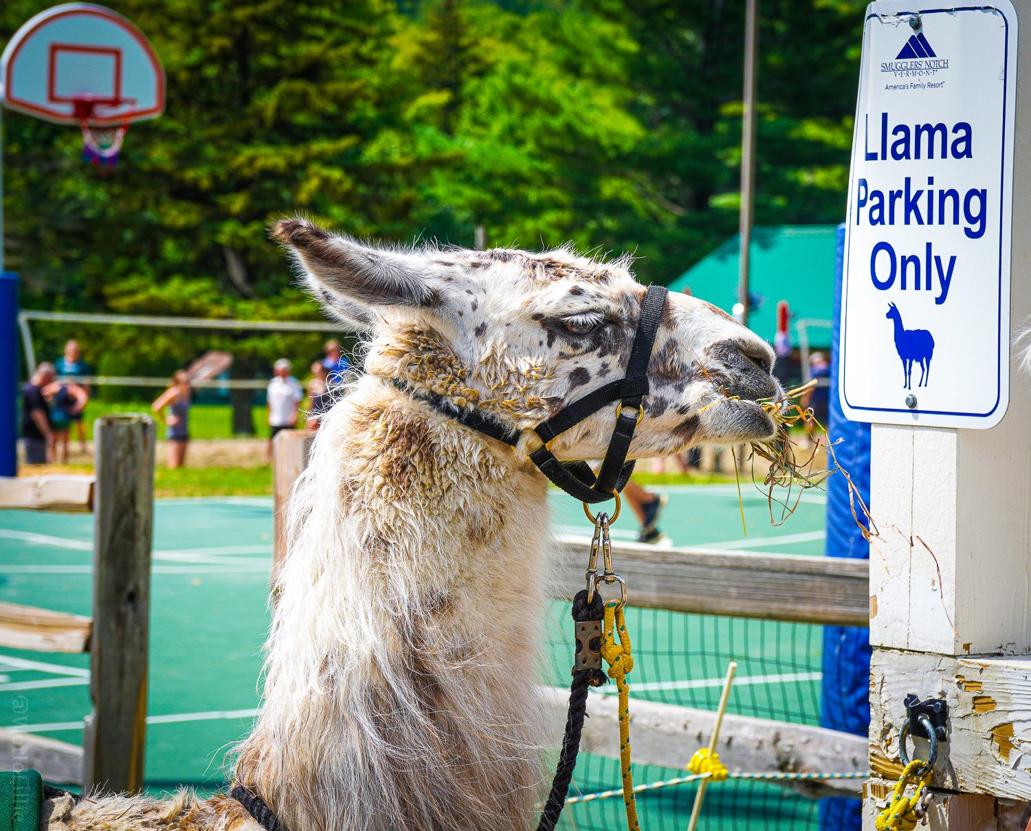 Llama Parking Only! Respect the sign.