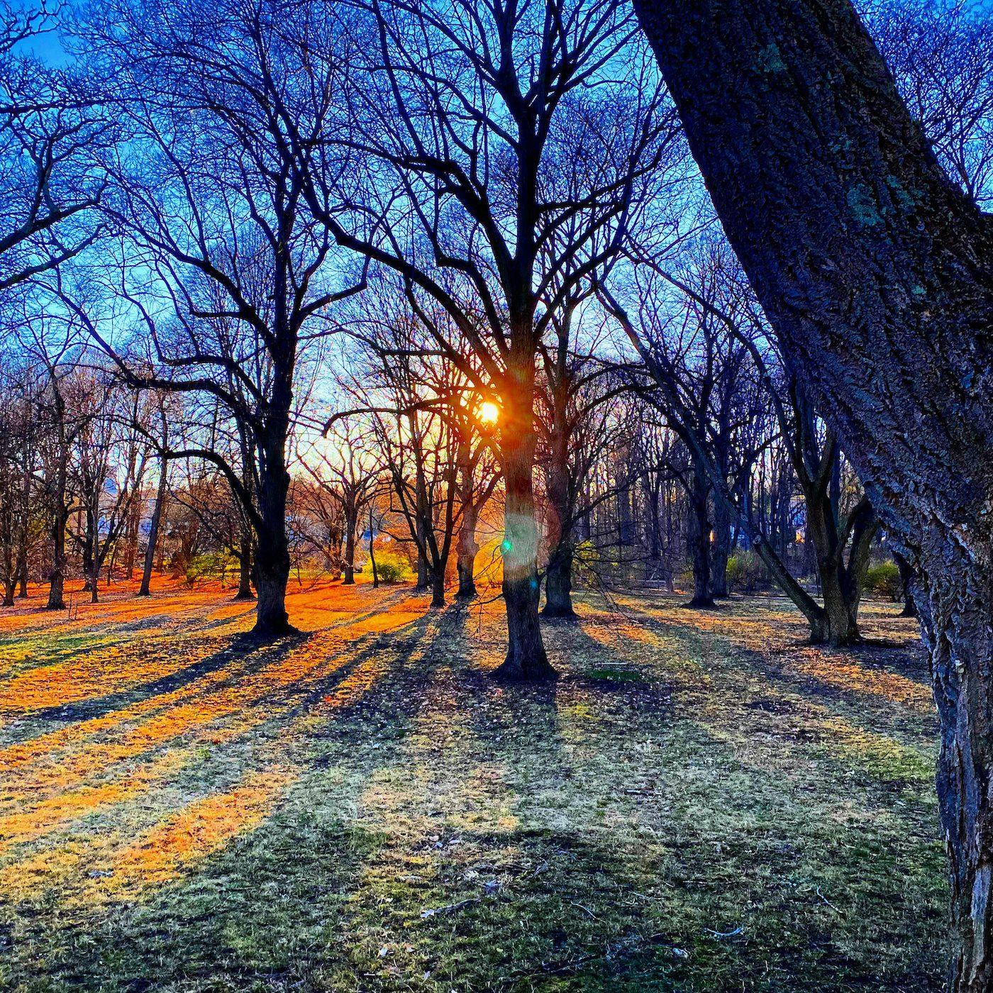 Sunset through trees in the Arnold Arboretum in Boston