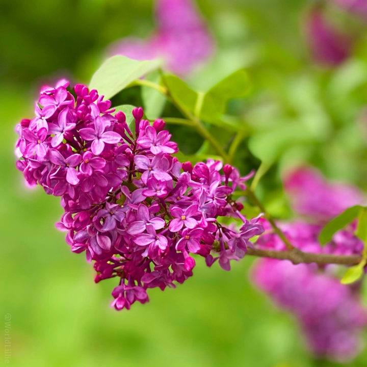 Lilacs growing